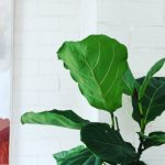 Caring for Fiddle Leaf Figs