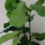 You guys, I've kept my fiddle leaf fig alive for 9 months!