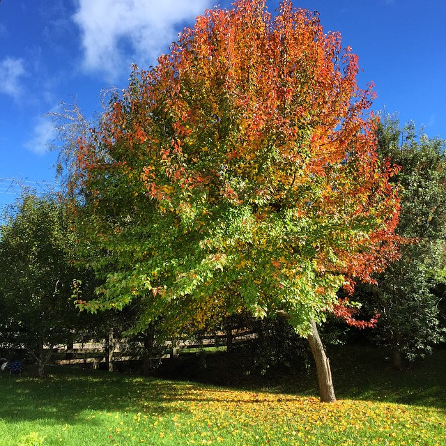 I'm becoming a little obsessed with this tree but it's just so magnificent I can't help it! Glorious autumnal morning here today...sun shining, cool breeze a blow in', washing on the line and kids playing outside. Weather is turning to cold and wet this week so soaking it up while we can.